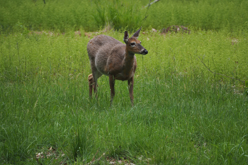 Deer at Ashokan Reservoir